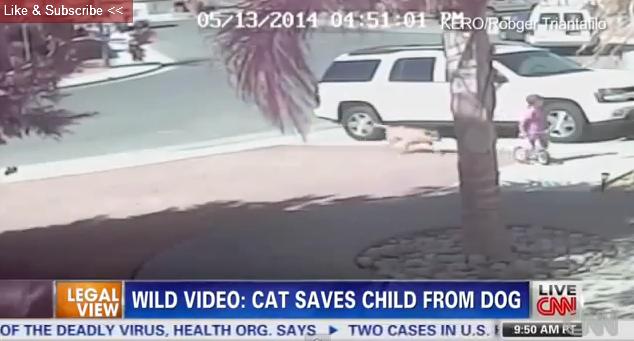 これは熱い!猫が犬から子供を救う動画