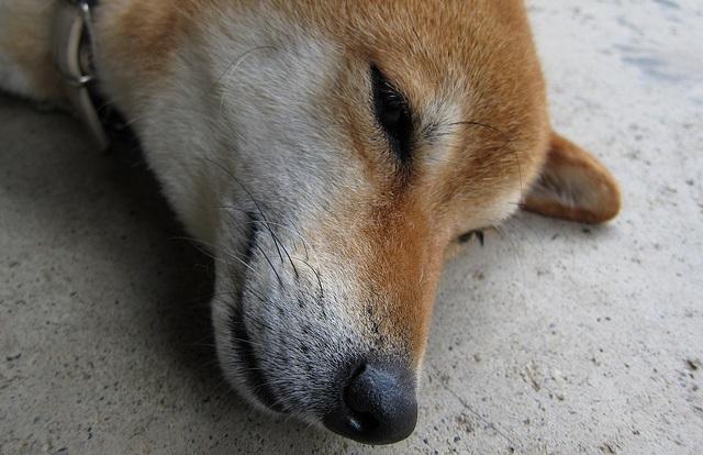 related-entry-thumb:服を着せられてテンションガタ落ちの犬